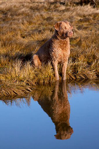 DOG 06 LS0085 01 © Kimball Stock Chesapeake Bay Retriever Female Casting Reflection In Salt Marsh Pond