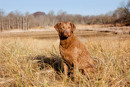 DOG 06 LS0086 01 © Kimball Stock Chesapeake Bay Retriever Female Sitting In Salt Marsh