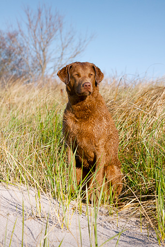 DOG 06 LS0087 01 © Kimball Stock Chesapeake Bay Retriever Female Sitting In Grass On Beach