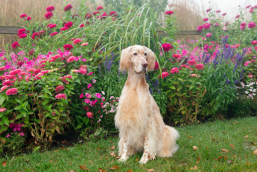 DOG 06 LS0094 01 © Kimball Stock English Setter Sitting On Grass By Autumn Flowers
