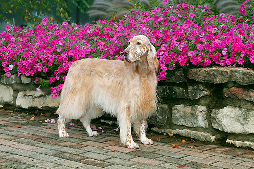 DOG 06 LS0095 01 © Kimball Stock English Setter Standing On Brick By Pink Petunias