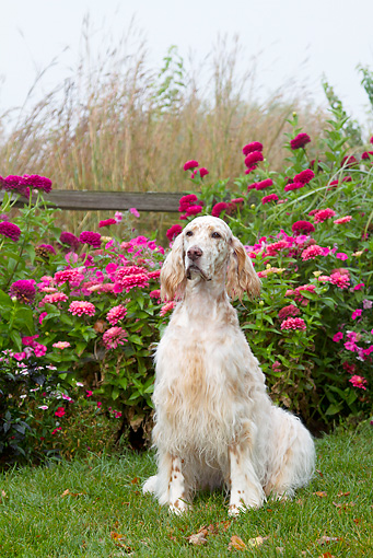 DOG 06 LS0096 01 © Kimball Stock English Setter Sitting On Grass By Pink Autumn Flowers