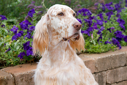 DOG 06 LS0097 01 © Kimball Stock Portrait Of English Setter Sitting By Violet Flowers