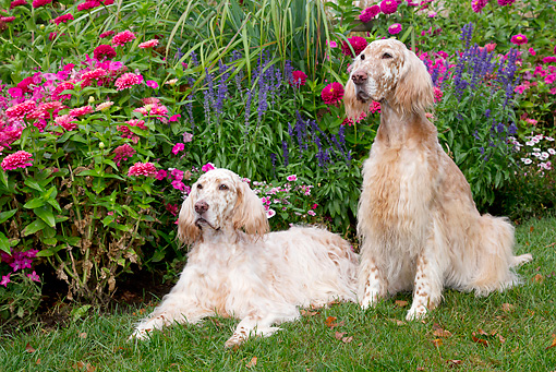 DOG 06 LS0098 01 © Kimball Stock Two English Setters On Lawn By Autumn Garden