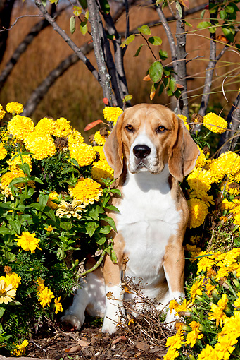 DOG 06 LS0102 01 © Kimball Stock Male Beagle Sitting In Yellow Flowers