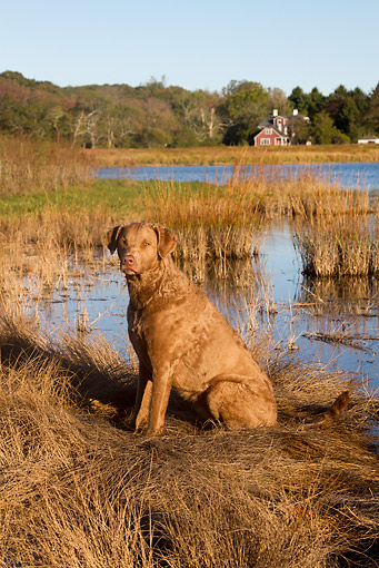 DOG 06 LS0104 01 © Kimball Stock Cheseapeake Bay Retriever Sitting At Salt Marsh