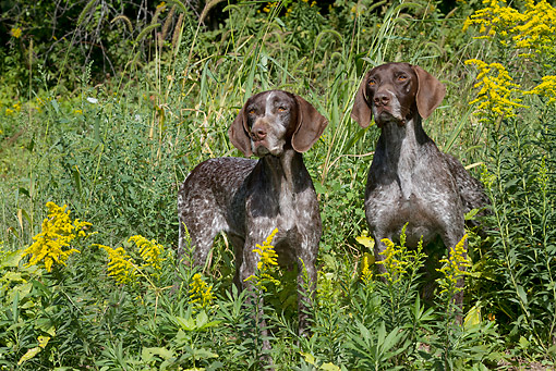 DOG 06 LS0107 01 © Kimball Stock Two German Shorthaired Pointers Standing In Field