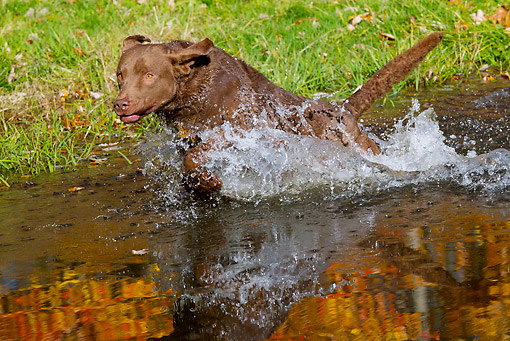 DOG 06 LS0108 01 © Kimball Stock Chesapeake Bay Retriever Running Through Pond In Autumn