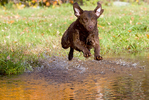 DOG 06 LS0109 01 © Kimball Stock Chesapeake Bay Retriever Jumping Into Pond In Autumn