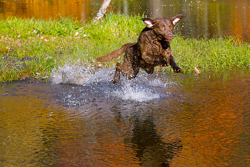 DOG 06 LS0110 01 © Kimball Stock Chesapeake Bay Retriever Jumping Into Pond In Autumn