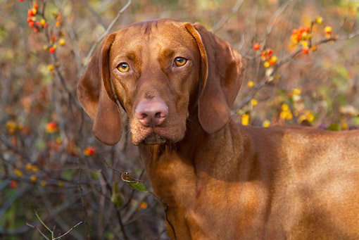 DOG 06 LS0116 01 © Kimball Stock Close-Up Of Vizsla Standing By Berries And Vines Along Dune Trail