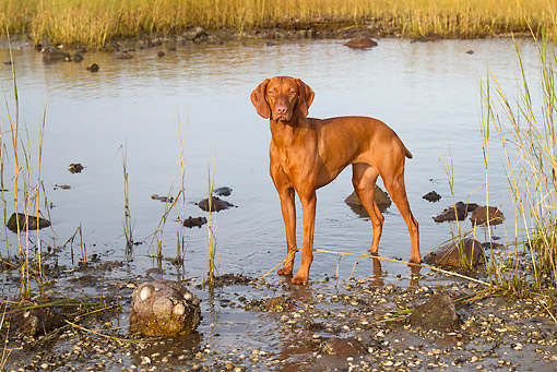 DOG 06 LS0117 01 © Kimball Stock Vizsla Standing In Salt Marsh