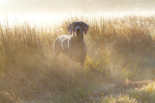 DOG 06 LS0120 01 © Kimball Stock Weimaraner Standing In Dewy Meadow Grass