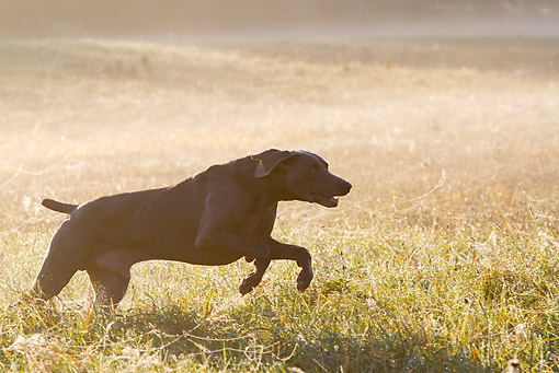 DOG 06 LS0122 01 © Kimball Stock Weimaraner Running Through Dewy Meadow Grass And Spider Webs