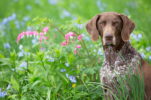 DOG 06 LS0124 01 © Kimball Stock German Shorthaired Pointer Female Sitting In Bleeding-Hearts And Bluebells In Rockton, Illinois