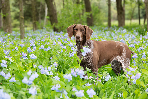 DOG 06 LS0126 01 © Kimball Stock German Shorthaired Pointer Female Standing In Bluebells In Rockton, Illinois