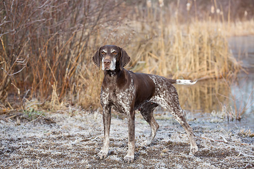 DOG 06 LS0131 01 © Kimball Stock German Shorthaired Pointer Standing At Edge Of Pond