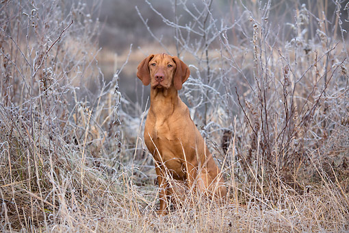 DOG 06 LS0133 01 © Kimball Stock Vizsla Sitting By Pond On Frosty Morning