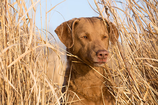 DOG 06 LS0134 01 © Kimball Stock Chesapeake Bay Retriever Female Hunting In Grass