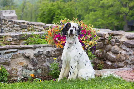DOG 06 LS0135 01 © Kimball Stock English Setter Sitting In Grass