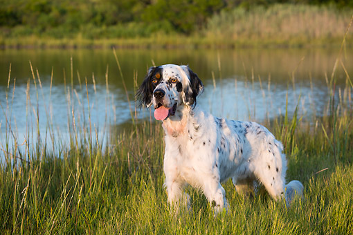 DOG 06 LS0137 01 © Kimball Stock English Setter Stands At Edge Of Salt Marsh