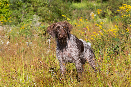 DOG 06 LS0138 01 © Kimball Stock German Wirehaired Pointer Drying Off In The Sun