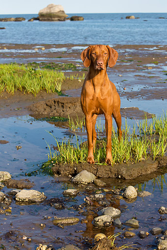DOG 06 LS0139 01 © Kimball Stock Vizsla Standing Calm And Alert In Sunset By Shore