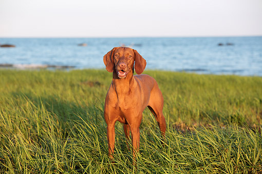 DOG 06 LS0140 01 © Kimball Stock Vizsla Smiling By Sea Shore