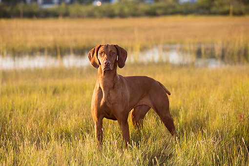 DOG 06 LS0145 01 © Kimball Stock Vizsla Standing In Marsh, Madison, Connecticut