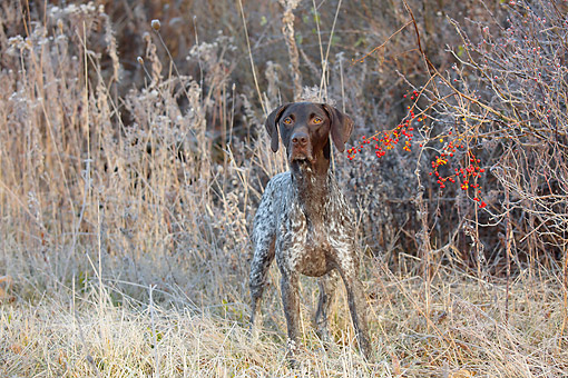DOG 06 LS0148 01 © Kimball Stock German Shorthair Pointer Standing In Frost-Covered Wild Grass, Canterbury, Connecticut