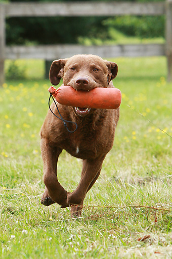 DOG 06 NR0026 01 © Kimball Stock Chesapeake Bay Retriever Running Carrying Dummy