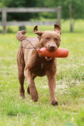 DOG 06 NR0027 01 © Kimball Stock Chesapeake Bay Retriever Running Carrying Dummy