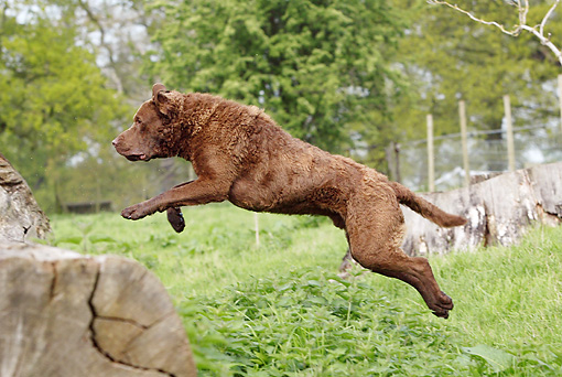 DOG 06 NR0029 01 © Kimball Stock Chesapeake Bay Retriever Running Jumping Over Log