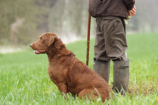 DOG 06 NR0030 01 © Kimball Stock Chesapeake Bay Retriever Sitting On Grass By Man