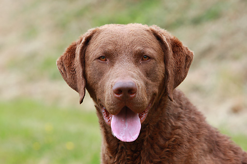 DOG 06 NR0035 01 © Kimball Stock Head Shot Of Chesapeake Bay Retriever Sitting