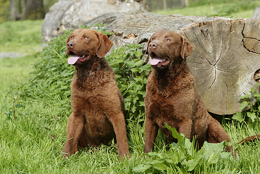 DOG 06 NR0036 01 © Kimball Stock Chesapeake Bay Retrievers Sitting On Grass By Log
