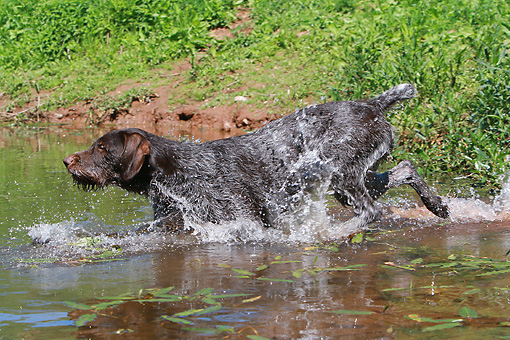 DOG 06 NR0039 01 © Kimball Stock German Wirehaired Pointer Walking Through Water