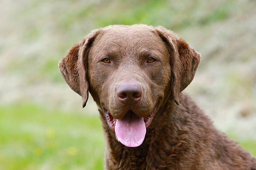 DOG 06 NR0041 01 © Kimball Stock Head Shot Of Chesapeake Bay Retriever