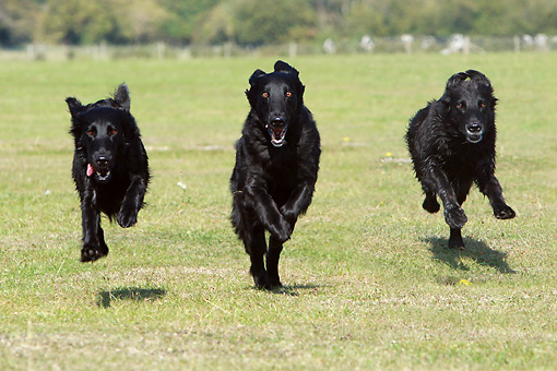 DOG 06 NR0042 01 © Kimball Stock Three Flat-Coated Retrievers Running On Grass Field