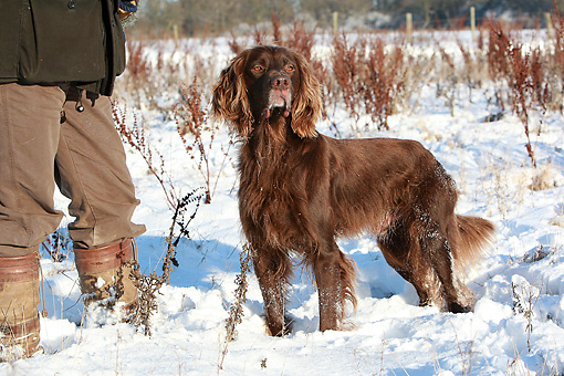 DOG 06 NR0047 01 © Kimball Stock German Longhaired Pointer Standing In Snow By Owner