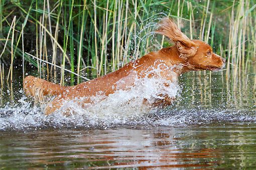 DOG 06 NR0048 01 © Kimball Stock Red Setter Splashing Through Water