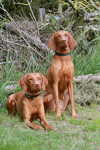 DOG 06 NR0052 01 © Kimball Stock Portrait Of Two Vizslas On Grass
