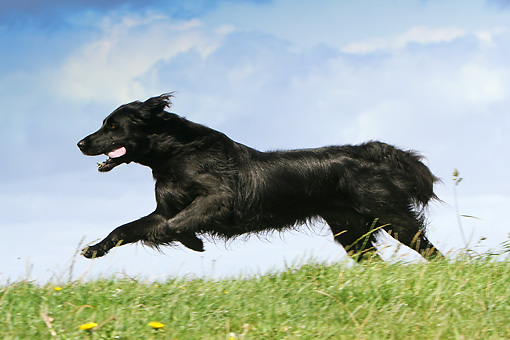 DOG 06 NR0054 01 © Kimball Stock Flat-Coated Retriever Running Through Field