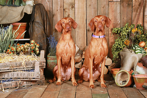 DOG 06 NR0061 01 © Kimball Stock Two Magyar Vizslas Sitting On Wood Floor By Dried Flowers And Woodpile
