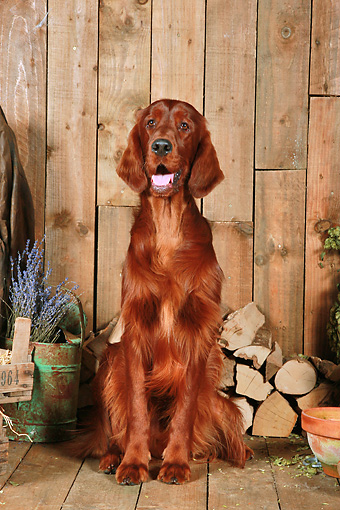 DOG 06 NR0062 01 © Kimball Stock Irish Setter Sitting On Wood Floor By Dried Flowers And Woodpile