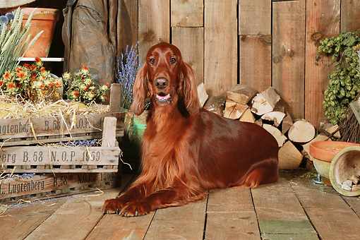 DOG 06 NR0063 01 © Kimball Stock Irish Setter Laying On Wood Floor By Dried Flowers And Woodpile