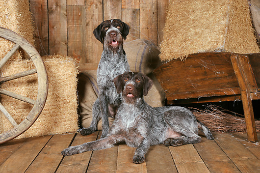 DOG 06 NR0064 01 © Kimball Stock Two German Wirehaired Pointers On Wood Floor By Hay Bales