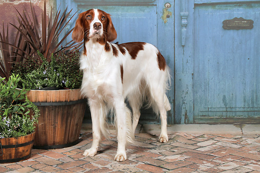 DOG 06 NR0065 01 © Kimball Stock Irish Red And White Setter Standing On Brick By Plants