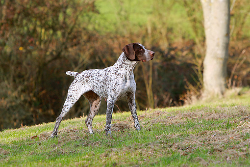 DOG 06 NR0067 01 © Kimball Stock German Shorthaired Pointer Pointing On Field