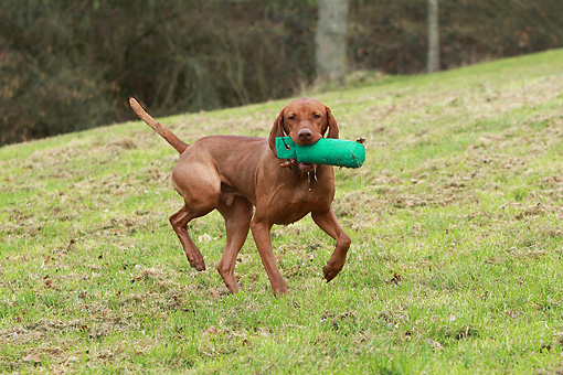 DOG 06 NR0069 01 © Kimball Stock Magyar Vizsla Running On Grass With Training Bumper